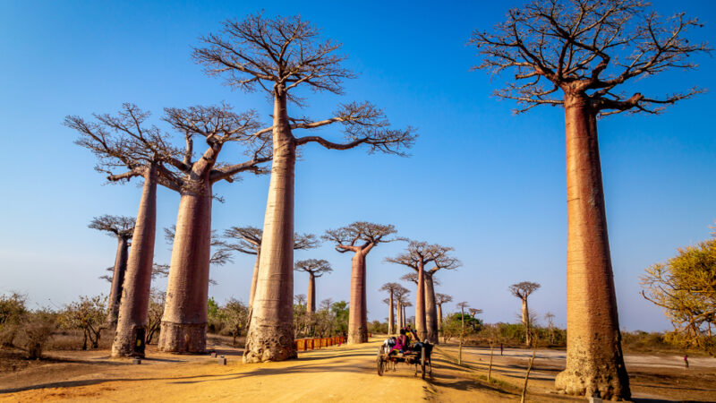 Morondava: l'Allée des Baobabs